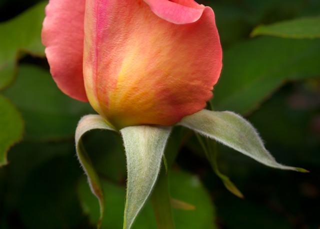 Pink Rosebud Photography Art | Rick Gardner Photography