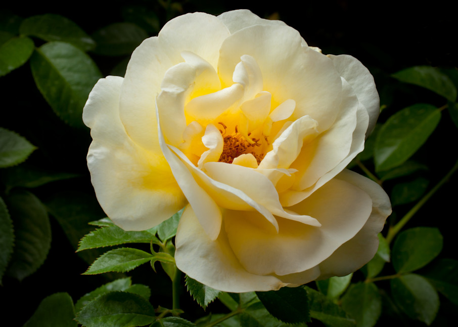 White Rose 2 Photography Art   Rick Gardner Photography