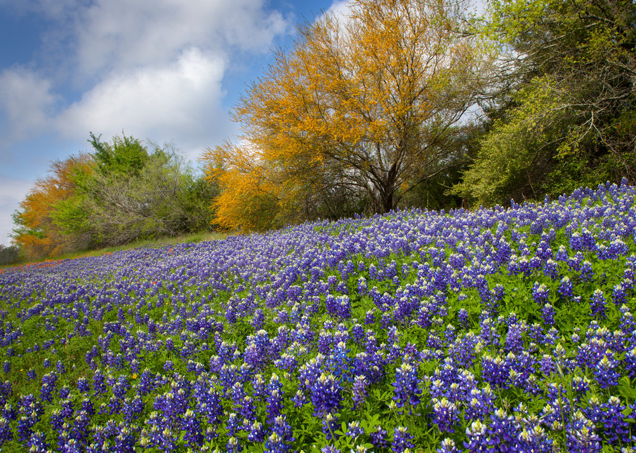 Bluebonnets And Huisache Trees Photography Art | Rick Gardner Photography