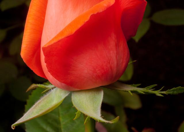 Red Rosebud Photography Art   Rick Gardner Photography