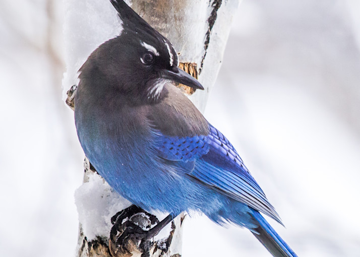 Stellar Blue Jay Visiting Mountain Window Photography Art   Colorado Born Images