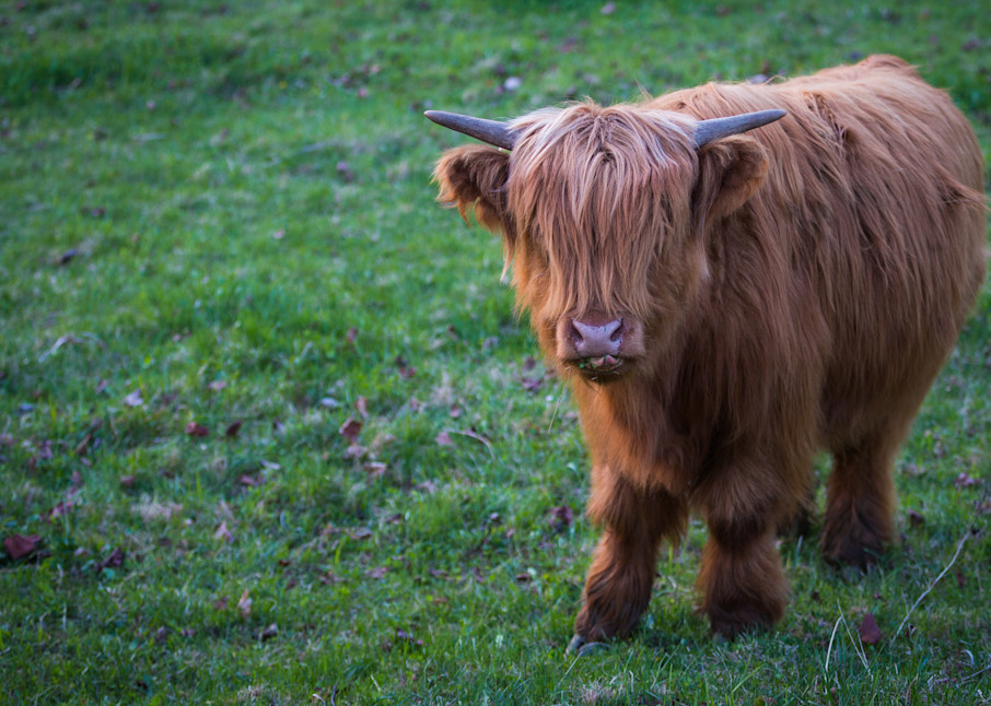 Highland Cow | Nose Licker | Nathan Larson Photography