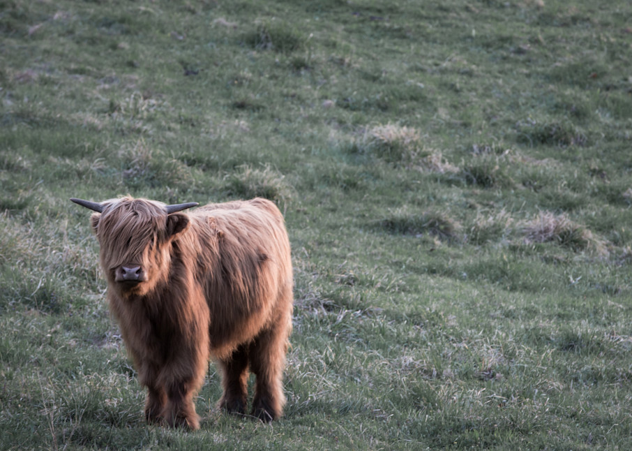 Highland Cow | Sunset Calf | Nathan Larson Photography