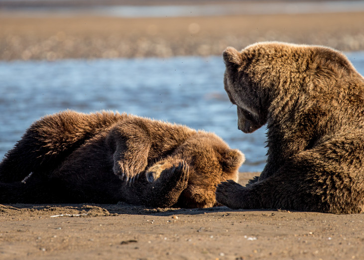 Alaskan Brown Bear Cubs on The Beach Wall Art