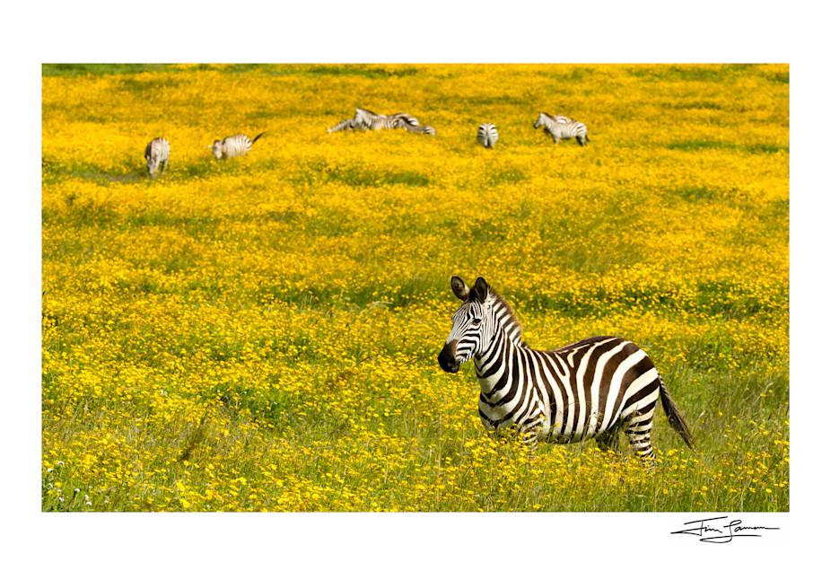 Zebra Amid Wildflowers 1 Photography Art | Tim Laman