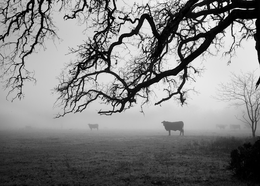 Cows In The Fog, Snook, Texas Photography Art   Rick Gardner Photography