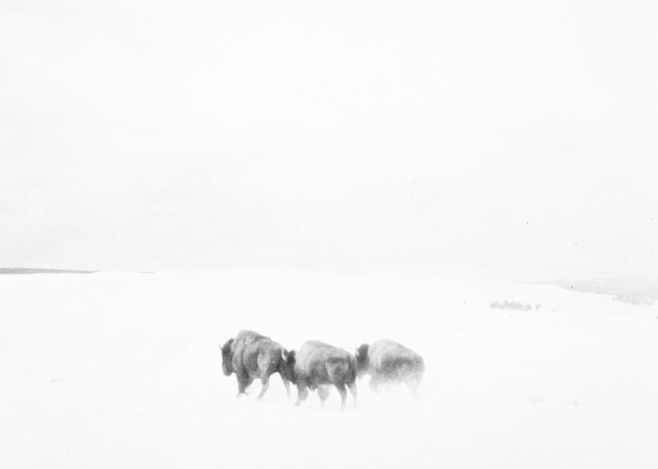 Buffalo Photography Art | Christopher Grey Studios