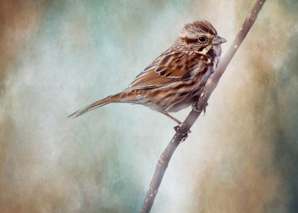 Song Sparrow on Textured Background