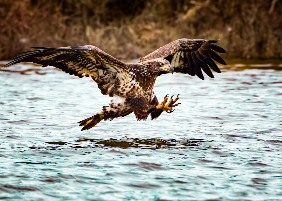 Juvenile Bald Eagle Goes Fishing