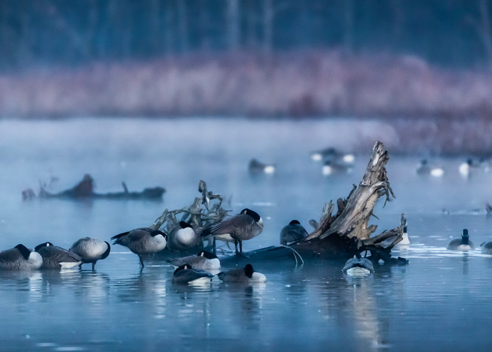 Geese in Mist at Sunrise
