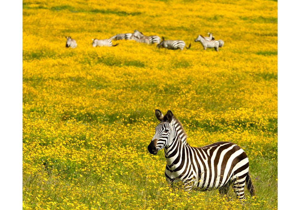 Zebra in a field of yellow flowers.