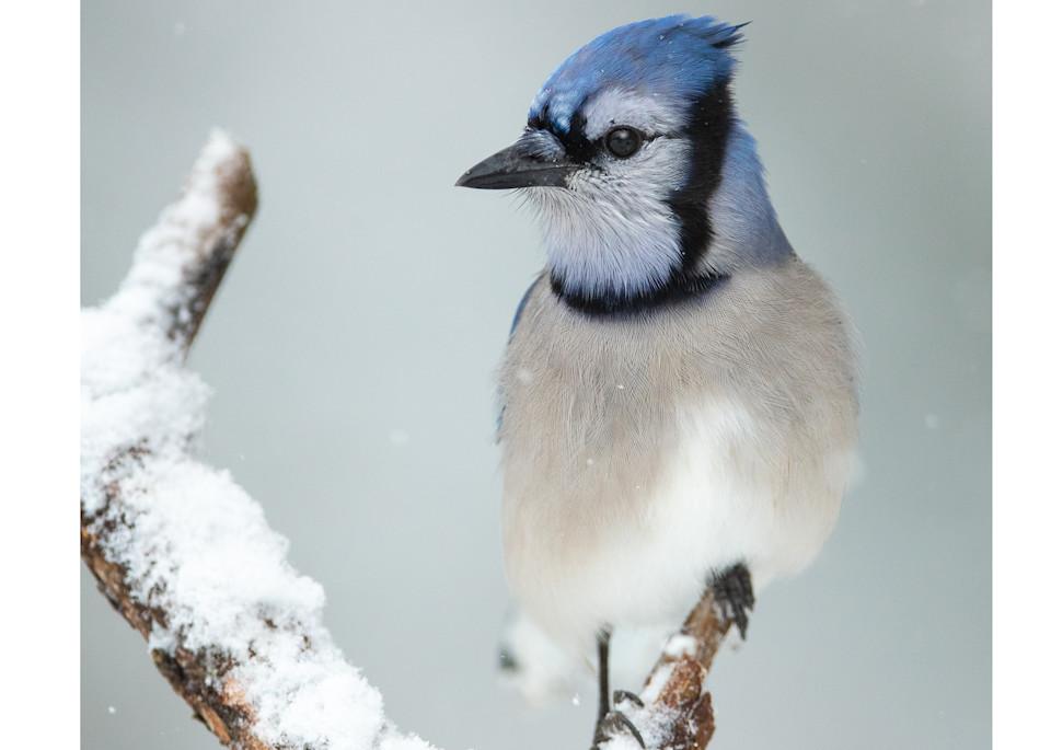 Blue Jay   Snowy Day Portrait Photography Art   Tim Laman