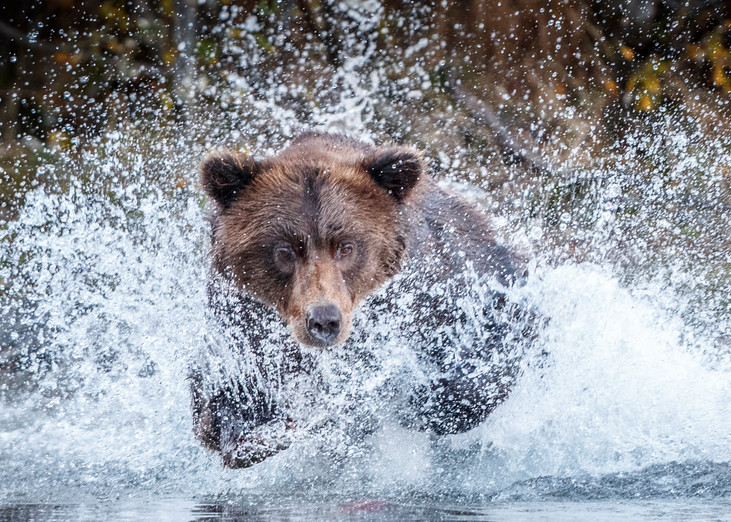 Coastal Grizzly bear runs/splashes chasing salmon in Crescent Lake in Lake Clark National Park as she fishes.   Fall/Autumn  Alaska  Photo by Jeff Schultz/SchultzPhoto.com  (C) 2017  ALL RIGHTS RESERVED