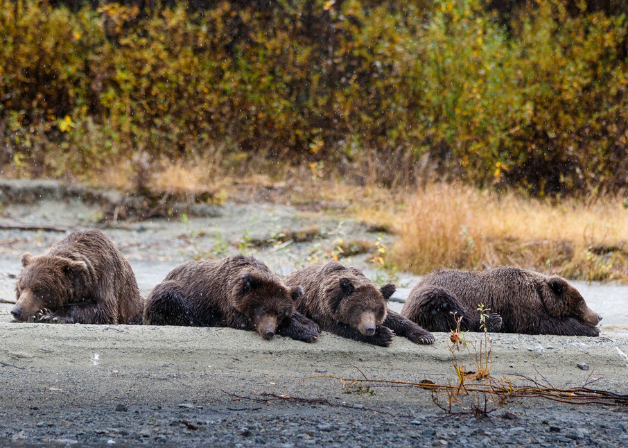 Sow and three cubs sleep/nap on beach.  Coastal brown bears at Crescent Lake in Lake Clark National Park.     Photo by Jeff Schultz/SchultzPhoto.com  (C) 2017  ALL RIGHTS RESERVED