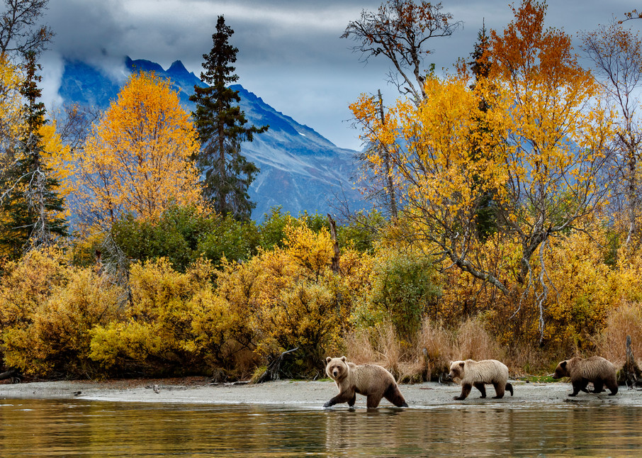 Alaska brown bear sow and two yearling cubs walk shoreline of Crescent Lake in Chigmit Mountains of Lake Clark National Park. Alaska  Photo by Jeff Schultz/  (C) 2020  ALL RIGHTS RESERVED