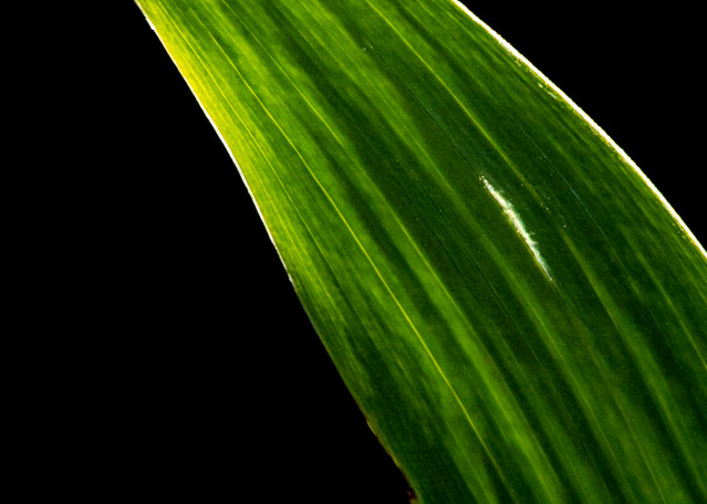 Tom Weager Photography - Iris Leaf