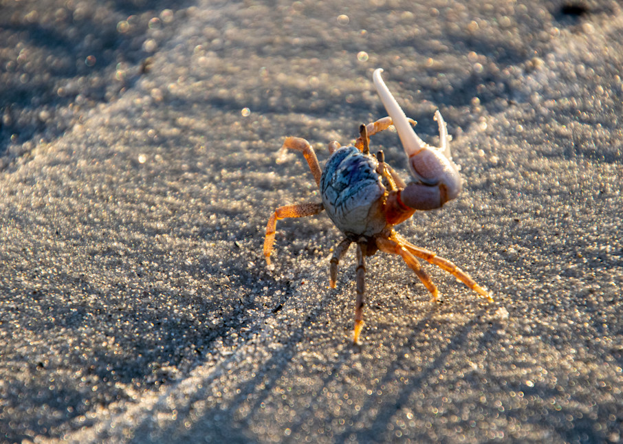 Fiddler Crab Photography Art | The Colors of Chatham