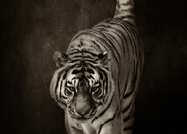 Tiger on Textured Background Black and White