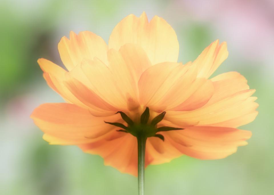 Orange Flower on Pastel Background - 8 by 10