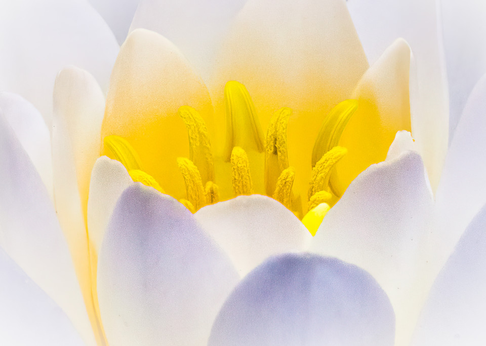 Water Lily Macro