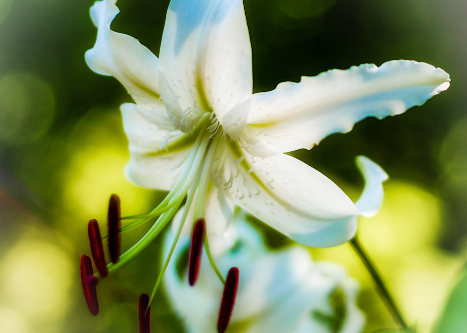 White Asian Lily - Square Crop
