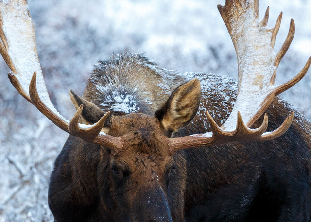 moose in willows with Chugach Mountains in Chugach State Park. Glenn Alps area of Anchorage, Alaska   November 2016  Photo by Jeff Schultz/SchultzPhoto.com  (C) 2016  ALL RIGHTS RESVERVED