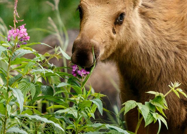 Moose calf eats summer grasses & fireweed in south Anchorage, Alaska   July  Summer 2015