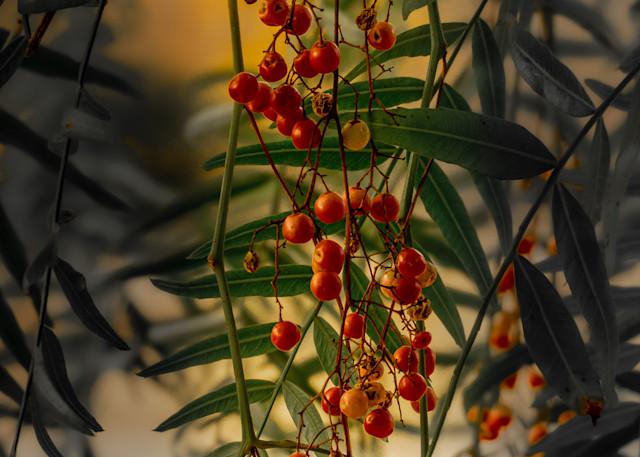 Peruvian Peppertree Photography Art   Ron Olcott Photography