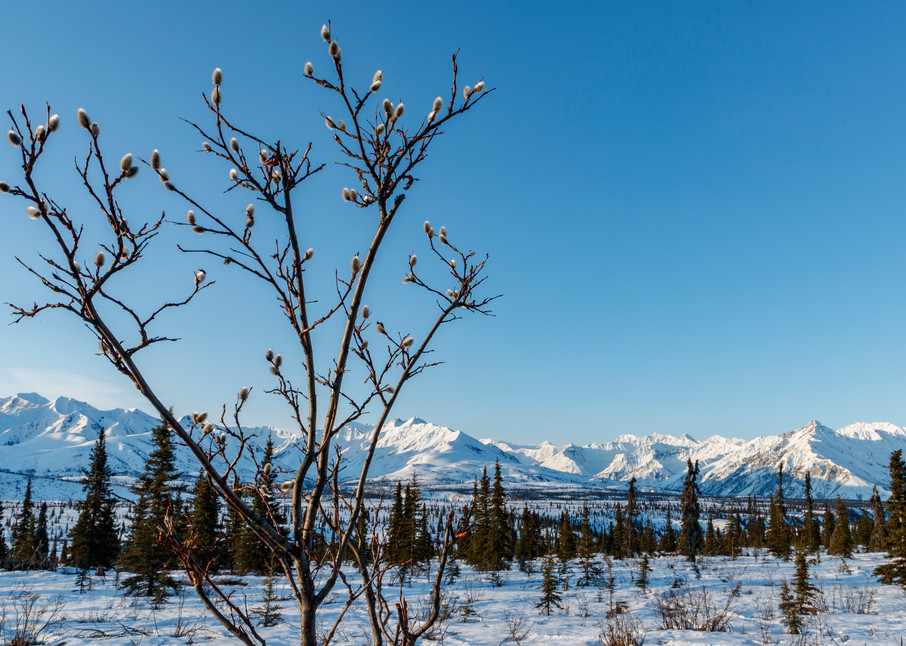 Spring Landscape of pussy willow with background of the snow-covered Chugach Mountains in the Tahneta Pass Glacier-View area of Southcentral, Alaska   Photo by Jeff Schultz/  (C) 2020  ALL RIGHTS RESERVED