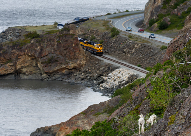 Spring landscape Dall Sheep on slopes and cliffs of the Chugach Mountains with the Seward Highway, cars and Alaska Railroad Train in background.  Chugach State Park at Windy Corner area south of Anchorage. Southcentral, Alaska   Photo by Jeff Schu