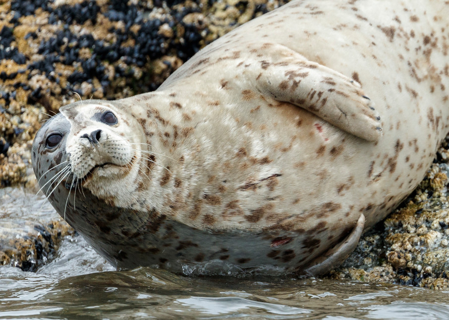 Harbor seal with half wet face and half dry face rests on island in Kukak Bay of Katmai Coast in Katmai National Park, Alaska.  Katmai Wilderness Lodge Summer.  June 2018  Photo by Jeff Schultz/SchultzPhoto.com  (C) 2018  ALL RIGHTS RESERVED