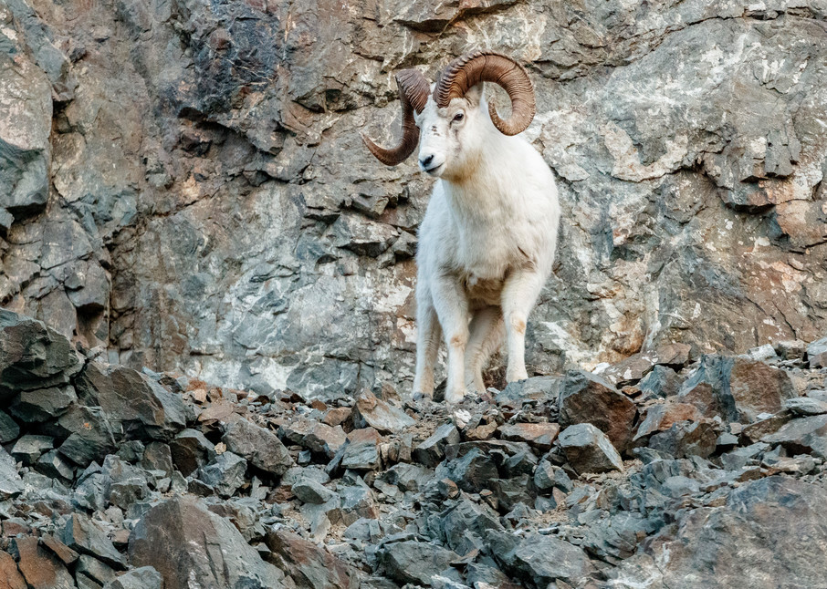 A Dall Sheep ram on cliffs in Chugach State Park, Alaska.  Winter rut season  Photo by Jeff Schultz/  (C) 2020  ALL RIGHTS RESERVED