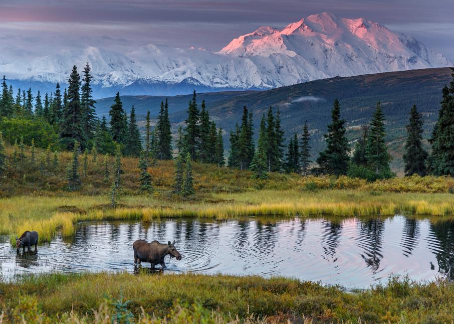 Denali Moose Dawn