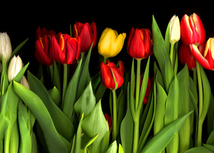 Tulipwhole400smaller Fs Photography Art | Koral Martin Healthcare Art