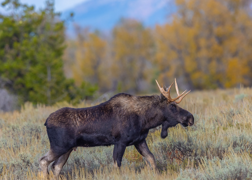 Young Bull Moose in Autumn