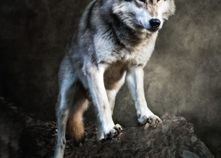 The Stare of a Tundra Wolf