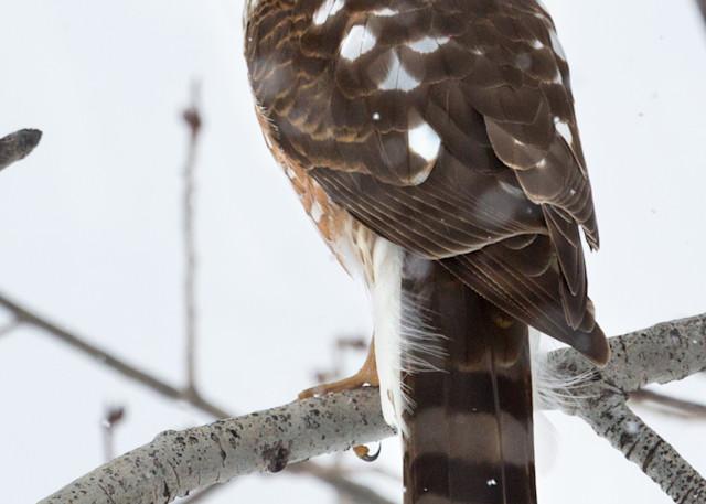 Sharp Shinned Hawk  # 2429 Photography Art | Mary Edwards Photography