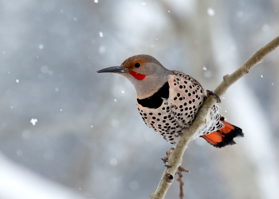 Northern Flicker  # 2681 Photography Art | Mary Edwards Photography