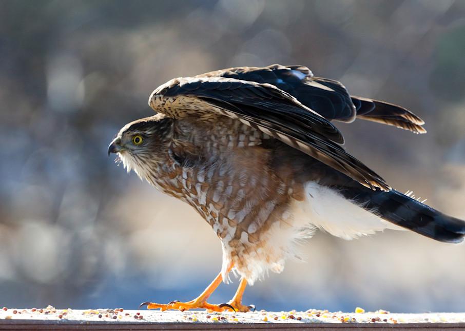 Sharp Shinned Hawk  # 1446 Photography Art | Mary Edwards Photography