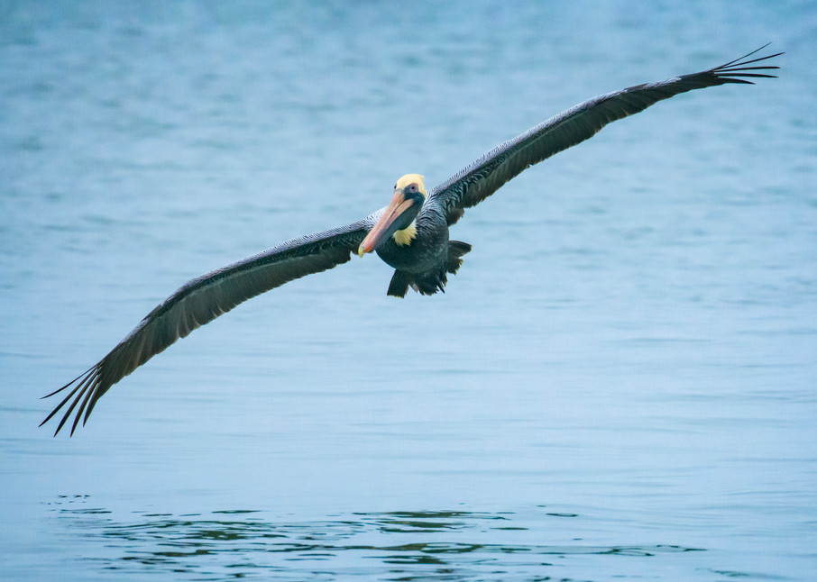 Brown Pelican in Flight at Harbour Town Marina