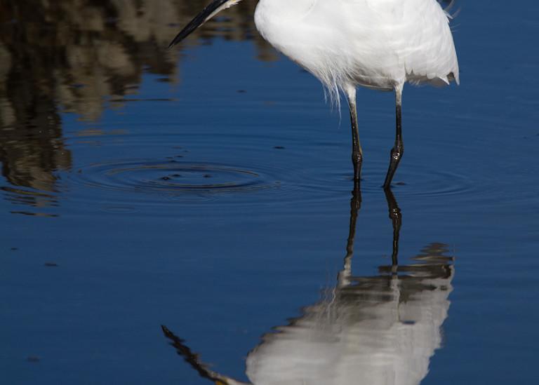 Snowy Egret Reflection Photography Art | Matt Cuda Nature Photography