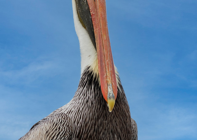 Watchful - Brown pelican fine-art photography prints