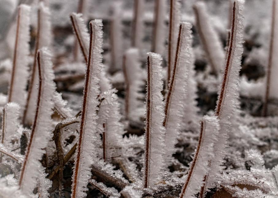 Frosty Stems 0931 Art | Koral Martin Fine Art Photography