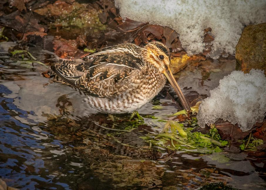 Wilsons Snipe Spring Feeding 2540 Fss Art | Koral Martin Fine Art Photography