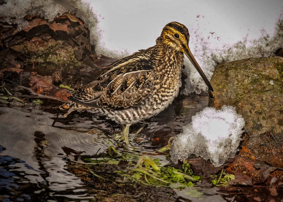 Wilson Snip Spring Feeding 2541 Fss Art | Koral Martin Fine Art Photography