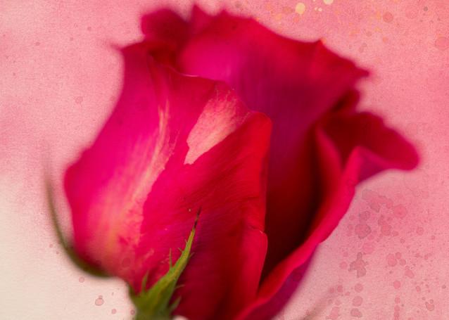 Beloved Rose Fine-Art Print