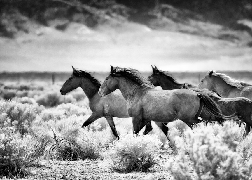 Wild horses running through desert black and white print