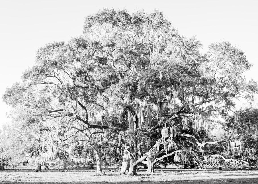 Live Oak Trees & Spanish Moss Pasture BW, Damon, Texas