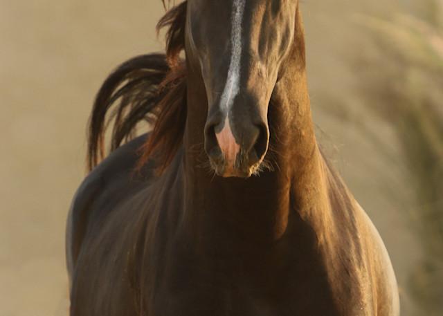 Charging Marwari Stallion Close Up print