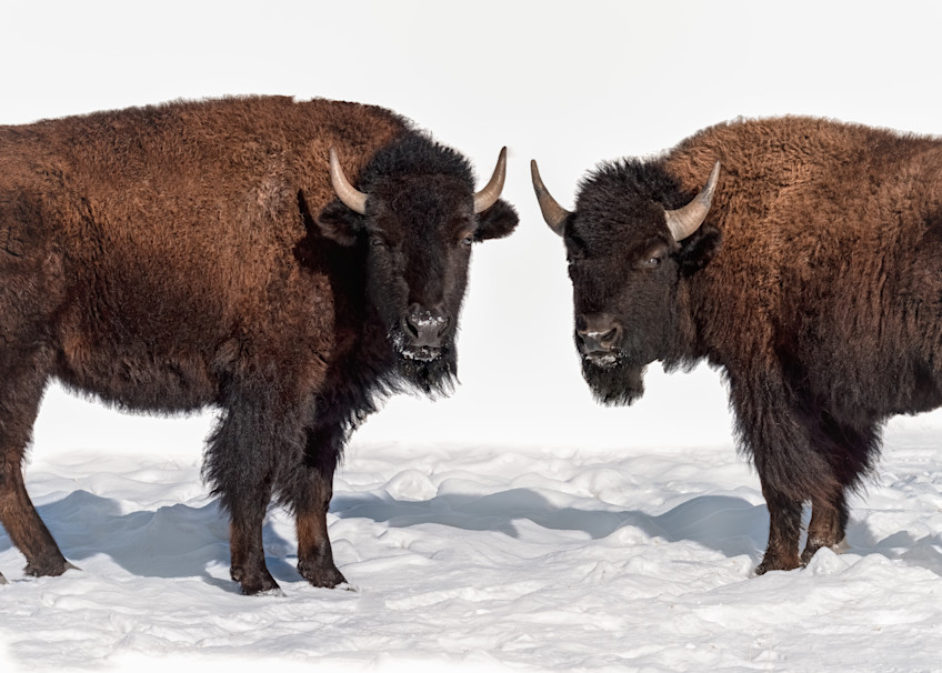 A Pair of Bison